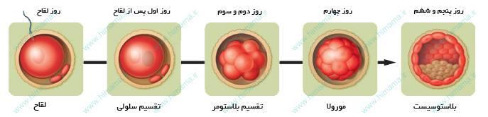 تقسیم سلولی